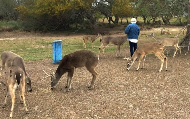 Feeding the deer at Port Mansfield TX
